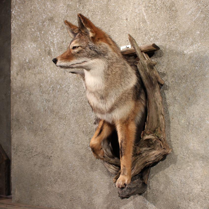 11262 E Coyote Wall Pedestal Taxidermy Shoulder Mount