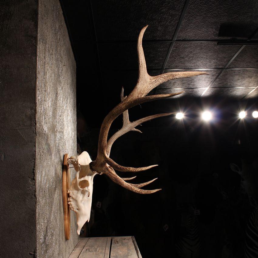 11345 e elk european antler plaque taxidermy mount stag horns