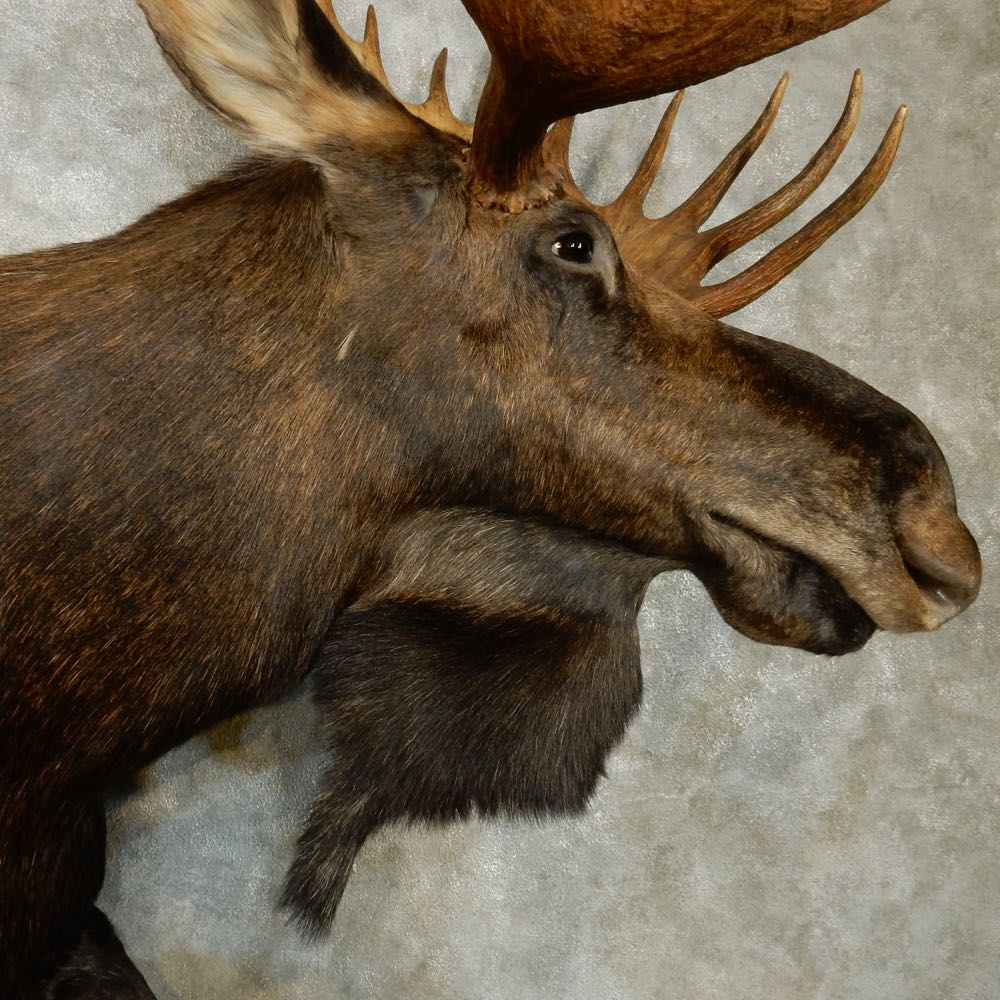 Canadian Moose Size Www Imgkid Com The Image Kid Has It