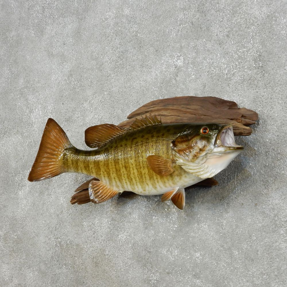 14100 p 20 smallmouth bass taxidermy fish mount for sale for Bass fish for sale