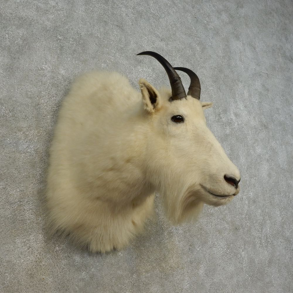 #16679 P+ | Mountain Goat Taxidermy Shoulder Mount For ...
