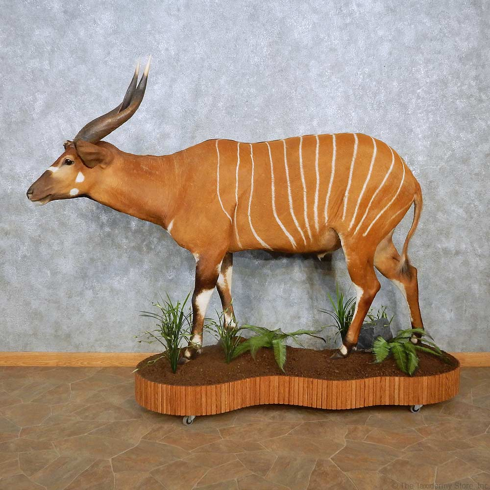 Aardwolf Mount For Sale: Bongo Antelope Life-Size Taxidermy Mount For