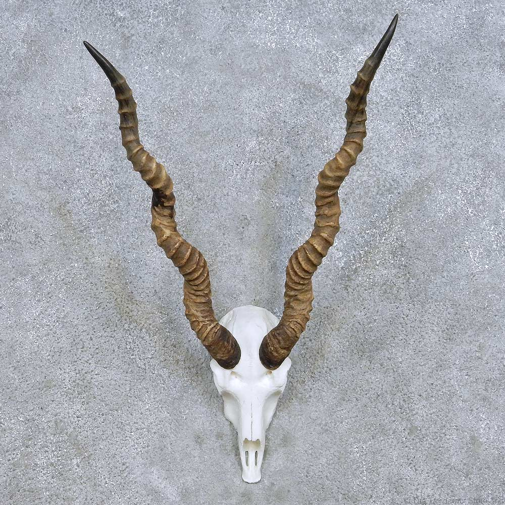Blackbuck antelope skull - photo#11