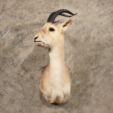 Tibetan Goa Gazelle Shoulder #10022 - The Taxidermy Store