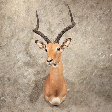 For Sale - African Impala Shoulder Mount#10047 - The Taxidermy Store