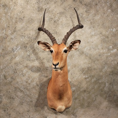 For Sale - African Impala Shoulder Mount#10048 - The Taxidermy Store