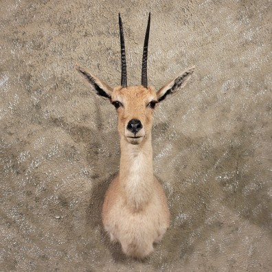 African Vaal Rhebok Mount #10076 - The Taxidermy Store