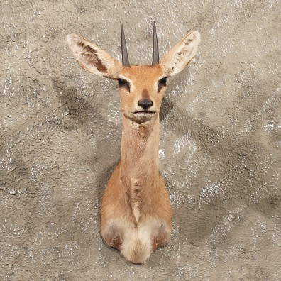 For Sale - African Steenbok Mount #10127 - The Taxidermy Store
