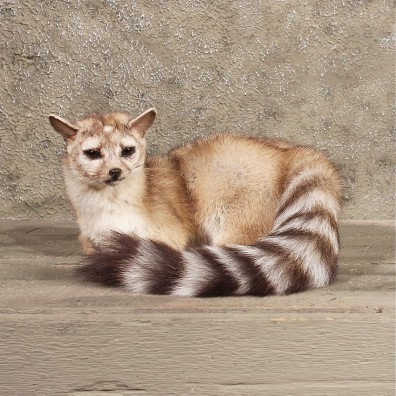 Ring Tailed Cat Mount 10175 The Taxidermy Store