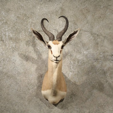 African Common Springbok Mount #10994 - The Taxidermy Store