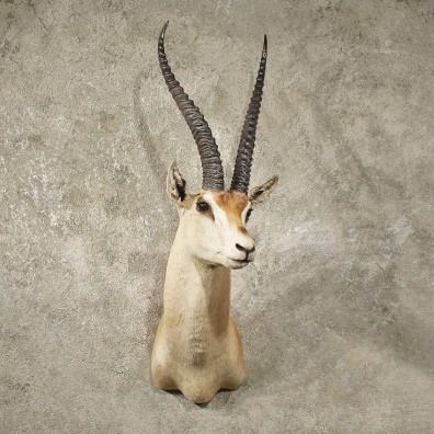 African Grants Gazelle Mount #10995 - The Taxidermy Store