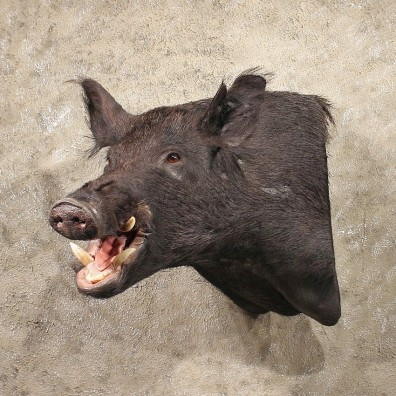 black boar mount 11319 the taxidermy store