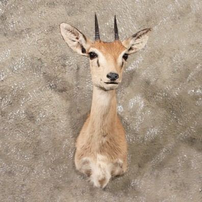 African Oribi Shoulder #11348 - The Taxidermy Store
