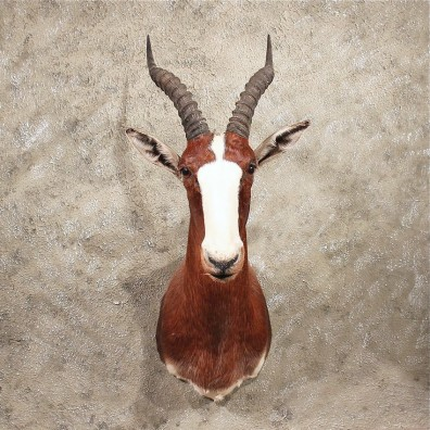 African Blesbok Shoulder #11357 - The Taxidermy Store