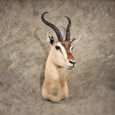 For Sale - African Somali Soemmerings Gazelle #11372 - The Taxidermy Store