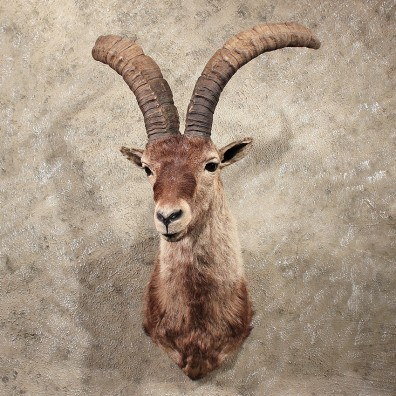 For Sale - Gredos Ibex Shoulder Mount #11382- The Taxidermy Store