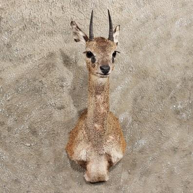 African Klipspringer Shoulder Mount #11398 - For Sale - The Taxidermy Store