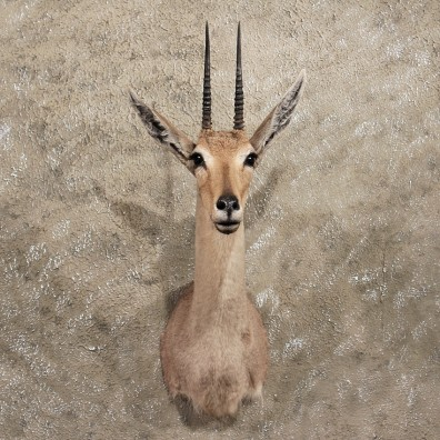 African Vaal Rhebok Mount #11400 - For Sale - The Taxidermy Store