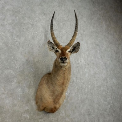 African Waterbuck Shoulder Mount #17334 For Sale @ The Taxidermy Store