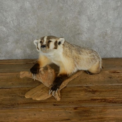 American Badger Life-Size Mount For Sale #17389 @ The Taxidermy Store