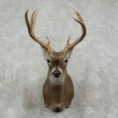 Whitetail Deer Shoulder Mount For Sale #17516 @ The Taxidermy Store