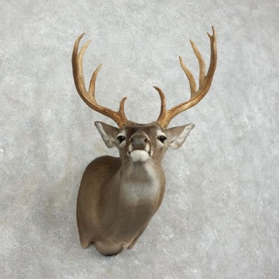 Whitetail Deer Shoulder Mount #17521 For Sale - The Taxidermy Store