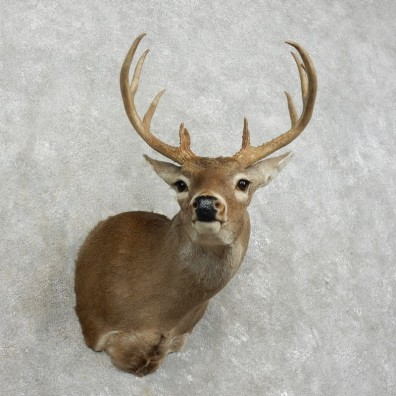 Whitetail Deer Shoulder Mount #17529 For Sale - The Taxidermy Store