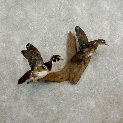 Wood Duck Bird Pair Mount For Sale #17737 @ The Taxidermy Store