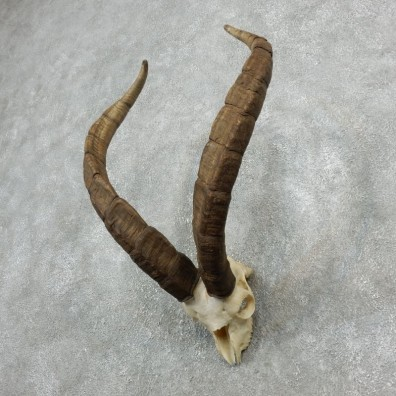 Ronda Ibex Skull Horn European Taxidermy Mount For Sale #18081@ The Taxidermy Store