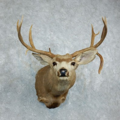 Mule Deer Shoulder Mount For Sale #18510 @ The Taxidermy Store