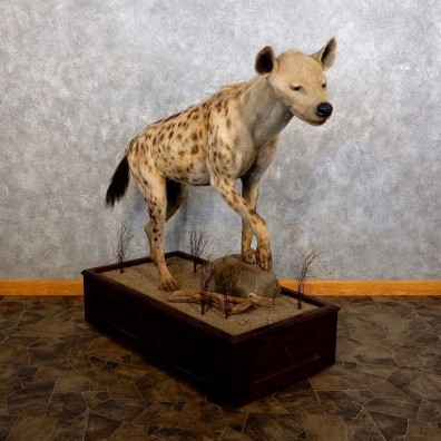 African Hyena Life-Size Taxidermy Mount #18622 For Sale @ The Taxidermy Store