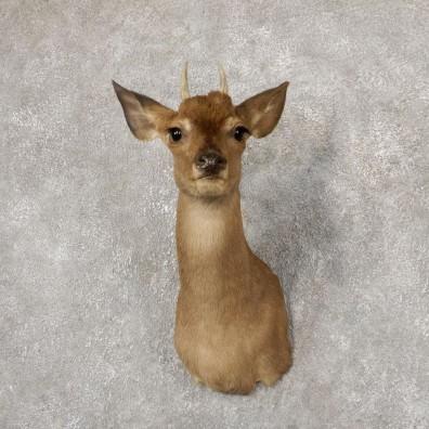 Brocket Deer Shoulder Mount For Sale #18921 @ The Taxidermy Store