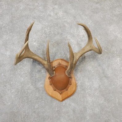 Whitetail Deer Antler Plaque Mount For Sale #19131 @ The Taxidermy Store