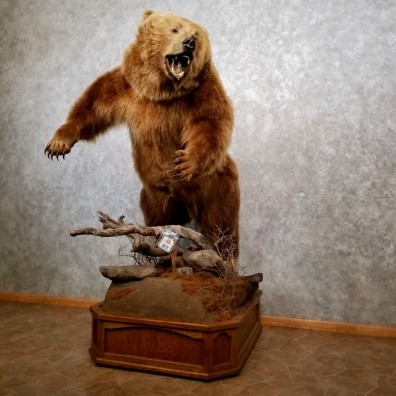 Brown Bear Life-Size Grizzly Taxidermy Mount For Sale #17748 @ The Taxidermy Store