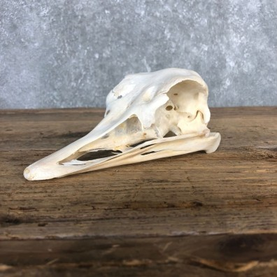 Ostrich Skull Mount For Sale #20359 @ The Taxidermy Store