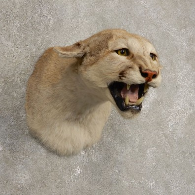 Mountain Lion Shoulder Mount For Sale #20437 @ The Taxidermy Store