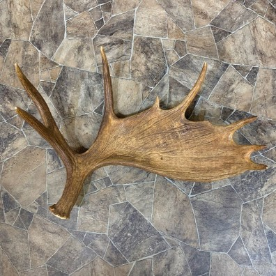 Moose Shed Antler For Sale #22039 @ The Taxidermy Store