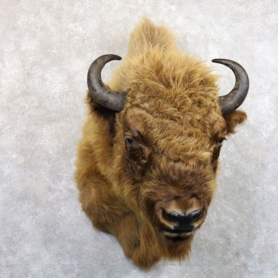 European Bison/Wisent Shoulder Mount For Sale #22240 @ The Taxidermy Store