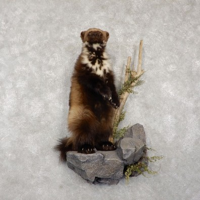 Wolverine Life-Size Mount For Sale #18769 @ The Taxidermy Store