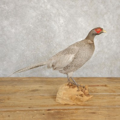Abyssinian Blue Pheasant Bird Mount For Sale #20627 @ The Taxidermy Store