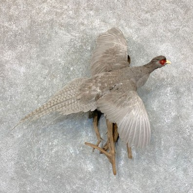 Abyssinian Pheasant Bird Mount For Sale #22766 @ The Taxidermy Store