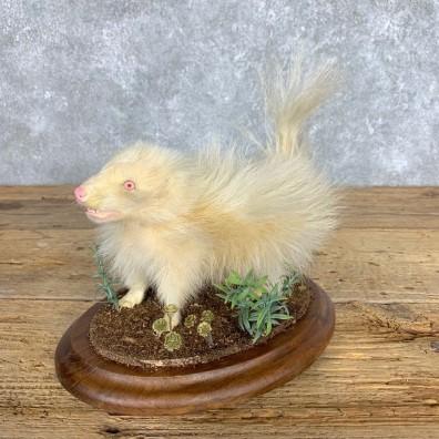 Adolescent Albino Skunk Taxidermy Mount #21793 For Sale @ The Taxidermy Store