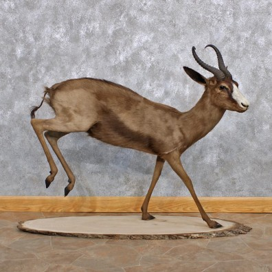 African Black Springbok Life Size Taxidermy Mount #10237 For Sale @ The Taxidermy Store