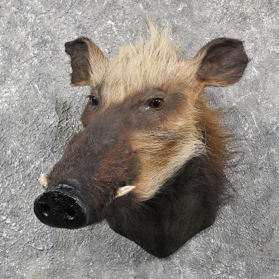 For Sale - African Bushpig Shoulder Mount #11564 - The Taxidermy Store