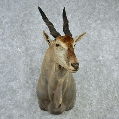 African Eland Shoulder Taxidermy Mount M1 #12820 For-Sale @ The Taxidermy Store