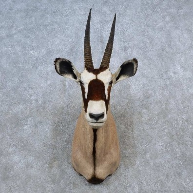 African Gemsbok Shoulder Mount For Sale #15582 @ The Taxidermy Store