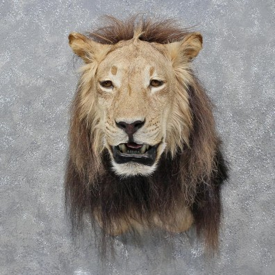 African Lion Shoulder Mount 12260 The Taxidermy Store