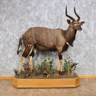 African Nyala Taxidermy Mount #12322 For Sale @ The Taxidermy Store