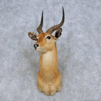 African Puku Taxidermy Shoulder Mount For Sale #13983 @ The Taxidermy Store