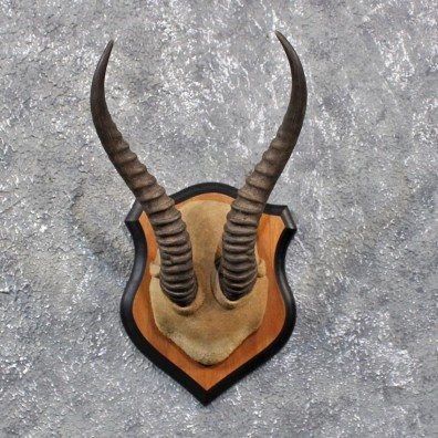 African Springbok Horn Plaque #11665 For Sale @ The Taxidermy Store